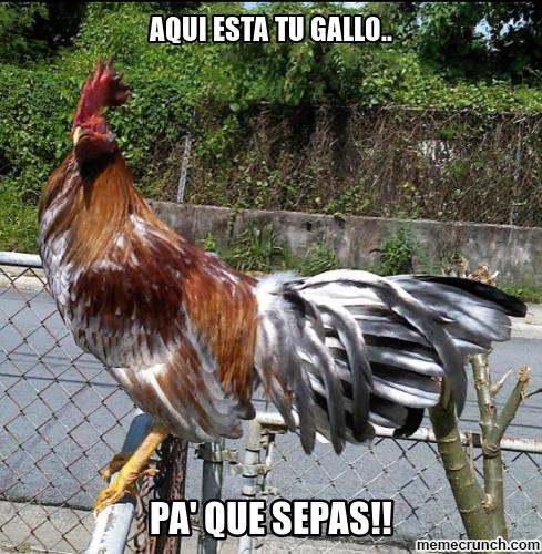 memes de gallos7