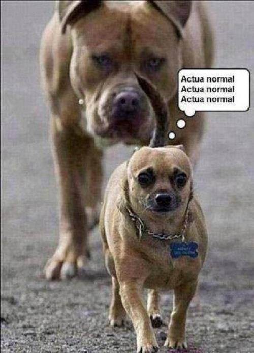 memes-de-actua-normal-perros-chistosos